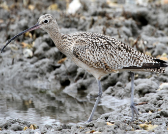 ARK Curlew